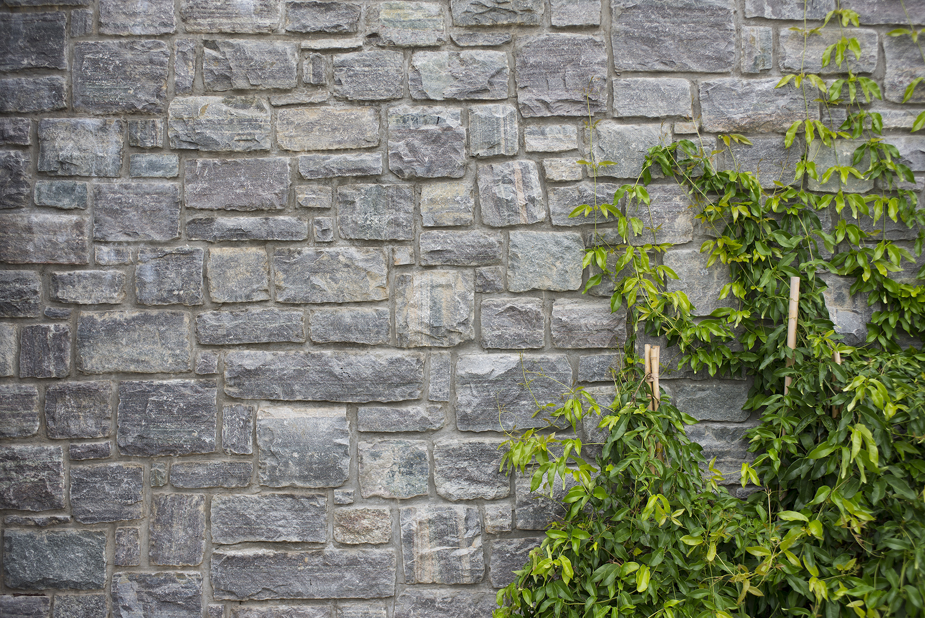 stone wall with ivy